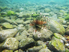 Lionfish (Dumby) Tags: fish eilat israel princessbeach redsea colors nature ft30 panasonic