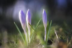 Up close (- A N D R E W -) Tags: sony a7rii mirrorless nature naturaleza spring primavera grass flower flor seasonal helios 442 58mm f2 vintage manual focus dof depth bokeh color colorful vibrant crocus
