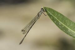 Under sun of winter (jrosvic) Tags: macrofotografia damselfly zygoptera odonata dragonfly