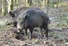 Wild Boar (Mike J O Lewis) Tags: wild boar wildboar forestofdean forest dean woorgreens gloucestershire wildlife nature d3200 nikon