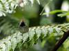 Dark-necked Tailorbird (ChongBT) Tags: nature natural wild wildlife animal bird avian malaysia bukit tinggi orthotomus atrogularis dark necked tailorbird tailor