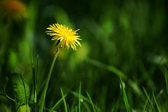 Dandelion (gornabanja) Tags: flower garden nature plant grass green yellow dandelion löwenzahn nikon d70