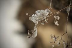glaçon (bulbocode909) Tags: valais suisse glaçons gel hiver montagnes nature plantes