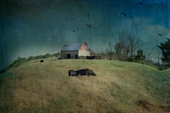 Angus Grazing (LLG Design) Tags: distressed distressedtextures farm fineart oklahoma oneofakind peaceful
