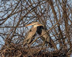 Great Blue Heron Pair  1Z9A0660 (DCLbyrdnyrd) Tags: greatblueheron pair nest nestbuilding lakewhetstone