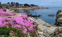 Pacific Grove Flowers (Larry Myhre) Tags: flowers iceplant pacificgrove california shoreline beach rocks scenic