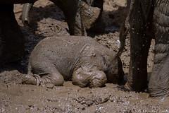 Time for a bath! (leendert3) Tags: leonmolenaar nature wildlife southafrica krugernationalpark africanelephant mammals ngc npc coth5
