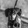 Jackie_Brown14Jan20184-Edit.jpg (fredstrobel) Tags: pets animals blackandwhite dogs phototype pawsdogs decatur georgia unitedstates us