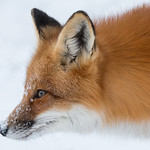 Red Fox with snow nose thumbnail