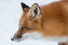 Red Fox with snow nose (NicoleW0000) Tags: redfox fox wild wildlife photography animal snow winter outdoor