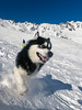 Denzel the Malamute (Wolfhowl) Tags: 2018 france frenchalps brevent landscape montblanc cute chamonixmontblanc kawaii mountains february winter франція alpinemountains clouds chamonix snow montblancmassif alaskanmalamute alps puppy travel denzel dog highfive шамоні chamonixvalley valley europe fun malamute