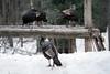 Parc Omega (StephV909) Tags: montebello parcomega animaux svstephanevaillancourtcom cstéphanevaillancourt 24février2018 animals nature landscape dinde dindes turkey turkeys winter hiver
