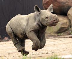 black rhino Blijdorp BB2A2344 (j.a.kok) Tags: rhino rhinoceros zwarteneushoorn blackrhinoceros neushoorn puntlipneushoorn africa afrika herbivore animal mammal zoogdier dier babyneushoorn babyrhino blijdorp