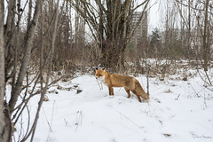 Simeon - Pripiat fox (nicolaselsaesser) Tags: chornobyl chernobyl tchernobyl pripiat prypiat exclusion zone ukraine nuclear power plant npp fox animals ginger radioactive abandonned ghost town