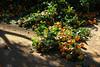 Récolte d'oranges (hans pohl) Tags: espagne andalousie malaga nature fruits feuilles leafs
