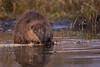 Sunset Beaver (Amy Hudechek Photography) Tags: beaver wildlife nature gtnp grand teton national park amyhudechek