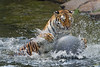 Playing with the ball II (Tambako the Jaguar) Tags: tiger big wild cat amur siberian female tigress water ball fun drops action holding paws playing pond claws portrait berlin tierpark germany nikon d5