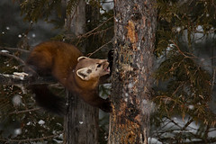 St. Louis County, MN 1/14/2018 (Doug Lambert) Tags: americanpinemarten weasel winter wildlife nature midwest saxzimbog stlouiscounty minnesota