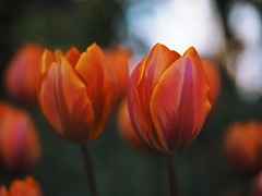 Dream of spring (Kito K (fxkito2)) Tags: closeup japan dof tokyo flower bokeh lumix olympus nature macro tulip omd