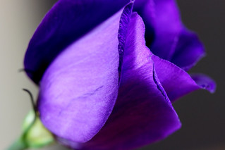 7DWF.....Flora....LISIANTHUS