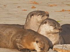 Otter Family Sunning Themselves (Irene, W. Van. BC) Tags: otters allotters otterfamily mamals wateranimals largeanimals animals allanimals cuteanimals siblings 1001nights 1001nightsmagiccity westcoastanimals burrardinlet 1001nightsmagicpeacock