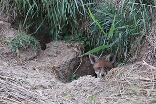 Red Fox 15.5.2011 (1)