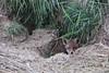 Red Fox 15.5.2011 (1) (wildlifelover69) Tags: redfox 1552011 gosbertonwesthorpe spalding lincolnshire mammals