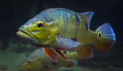 Peacock Bass (Paula Darwinkel) Tags: peacockbass bass fish aquaticlife aquarium animal wildlife nature underwater fishtank freshwater color