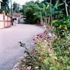 An Evening In Maras III (fuadabd) Tags: mamiyac33 fujireala100 mediumformat 120film bokehonfilm colorfilmphotography filmphotography filmisnotdead shootingfilm kgmaras flower hometown terengganu fuadabdullah