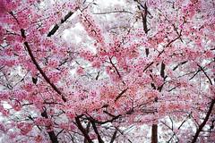 An April delight (DanÅke Carlsson) Tags: japan japanese sakura cherry blossom pink flowers spring tree