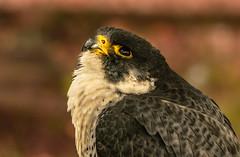 searching the next meal (jeff.white18) Tags: peregrinefalcon falcon birdofprey preditor feathers eye bird beak bokeh nature portrait prey profile flickr