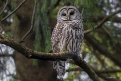 Barred Owl / Chouette rayée (shimmer5641) Tags: strixvaria barredowl chouetterayée hootowl northernbarredowl owlsfamily raptor birdofprey birdsofbritishcolumbia birdsofnorthamerica