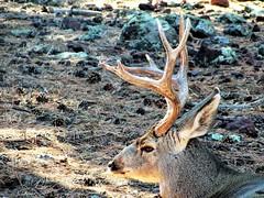 Stag portrait (thomasgorman1) Tags: deer buck antlers 8point az arizona canon bearizona portrait park outdoors stag