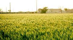 大城麥動 Dacheng Township Fluctuations (葉 正道 Ben(busy)) Tags: wheat dachengtownship changhuacounty 彰化縣 大城鄉 小麥 麥子 台灣 taiwan 麥田 wheatfield 農村 rural 冬季 winter
