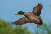 Landing gear on.. (Irtiza Bukhari) Tags: midair bird one drake wildlifeofpakistan beautyofpakistan birdsofpakistan wwfpakistan pakistan wwf irtizabukhari bukhari irtiza nature beauty mallardduck mallarddrake mallardmale mallard