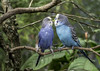 Love Birds (Charles Patrick Ewing) Tags: bird birds avian animal animals nature natural outdoor tree trees landscape colorful colourful blue green foliage love duo duet wildlife beautiful best new all everything top budgie budgies