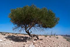 In the desert (KPPG) Tags: 7dwf flora baum tree desert wüste afrika africa marokko morocco nature natur