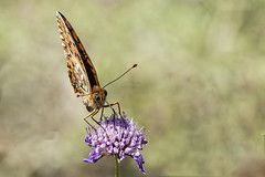 Argynnis aglaja (Jaume Bobet) Tags: argynnis aglaja lapidoptera nymphalidae mariposa insecto macro bobet canon sigma