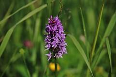 wild orchid (Hugo von Schreck) Tags: hugovonschreck wildorchid wildblume flower blume blüte macro makro canoneos5dsr tamron28300mmf3563divcpzda010