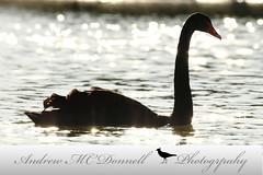 Black Swan (EI-AMD Aviation Photography) Tags: andrew mc donnell photography birds bird wildlife uae dubai abu dhabi al qudra lakes birdphotography naturephotography uaewild nationalgeographic
