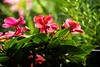 Pink Flowes (petemoshes) Tags: pink flowers zoom lens green leafs blur backround plants tree dirt