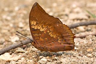 Charaxes bernardus - the Tawny Rajah