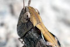 Armour - _TNY_3042 (Calle Söderberg) Tags: macro canon canon5dmkii canoneos5dmarkii canonmpe65mmf2815x mpe65 insect flash meike mk300 glassdiffusor commonfieldgrasshopper chorthippus brunneus fieldgrasshopper grasshopper gräshoppa armor armoured backgräshoppa markgräshoppa acrididae gomphocerinae locust neck black brown