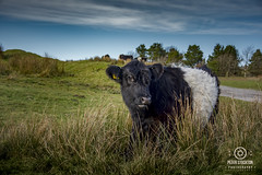 cow (kapper22) Tags: cow outdoors minions cornwall sunny photography