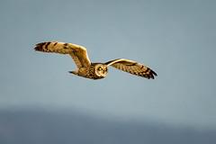 Shortie flying into the night (alicecahill) Tags: nwr california usa nationalwildliferefuge owl bird shortearedowl ©alicecahill flying raptor lowerklamathnwr animal