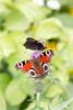 Tagpfauenauge (Marcus Hellwig) Tags: falter mariposa farfalla papillon schmetterling aglaisio tagpfauenauge edelfalter augen natur nature natura naturo naturalleza