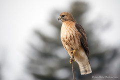 Hal posing (Brian M Hale) Tags: hal hybrid hawk redtail redshoulder redhouldered red tail shoulder shouldered wildlife wild life outside outdoors nature brid birding birdwatch ma mass massachusetts west w boylston newengland new england brian hale brianhalephoto x
