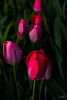 Flowers-Tulips-53.jpg (Chris Finch Photography) Tags: tulipasaxatilis spring tulip pinktulip flower tepals tulipalinifolia springblooming chrisfinchphotography perennial redtulip petal herbaceousbulbiferous petals tulipa pinktulips flowers tulipaturkestanica perennials herbaceous bloom bulb tulipagesneriana bulbs tulipaarmena lilioideae chrisfinch herbaceousbulbiferousgeophytes macrophotography tulipaclusiana blooming tulipahumilis redtulips wwwchrisfinchphotographycom tulips