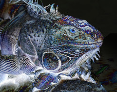 psychedellic Iggy (marianna_a.) Tags: iguana lizard phychadellic hss sliders sunday mariannaarmata positive negative reptile colourful costa rica diamanteecoadventurepark