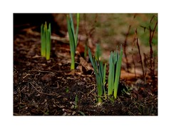 At Last ! ! (sorrellbruce) Tags: sprouting flowers spring jpeg astiafilmsimulation